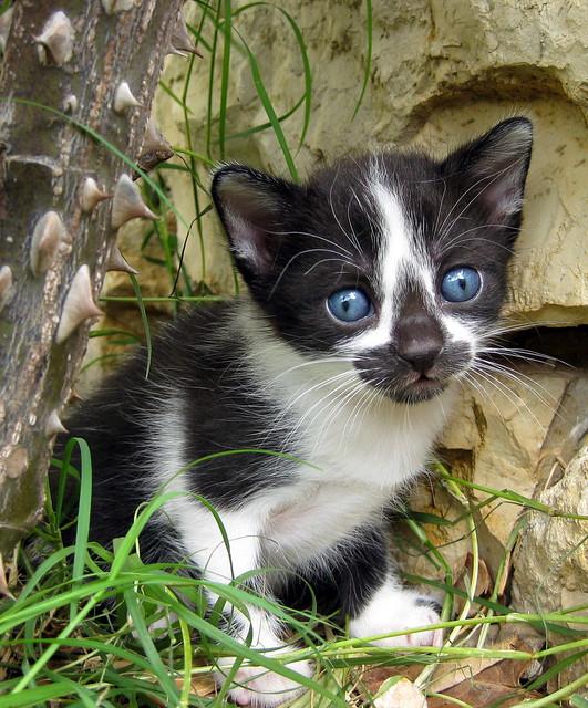 gato ojos azules - gatet ulls blaus
