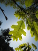 California Black Oak - Photo (c) josh jackson, some rights reserved (CC BY)