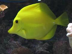 Yellow (Sailfin) Tang_0114