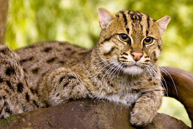 Fishing cat flickr photo sharing for The fishing cat