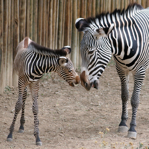 zebra mom and baby zebra