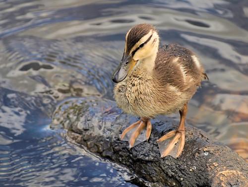 waterfront © duckling washingtonnc garyburke babymallard abigfave gwburke2001 theyarejusttoocute canthelpbutlovetheselittleones copyrightedallrightsreserved gburke6 copyrightprotectedallrightsreserved