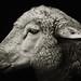 Ovis aries domestica by zeissizm