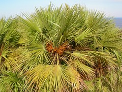 date palm(0.0), borassus flabellifer(0.0), coconut(0.0), branch(0.0), grass(0.0), tree(0.0), arecales(1.0), plant(1.0), produce(1.0), food(1.0), saw palmetto(1.0),