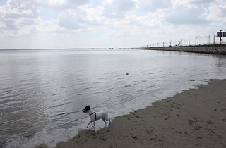 Imagen de Playa de la Cortadura cerca de Cádiz. ocean sea dog beach water animal bay sand terrier cadiz ratterrier andaluz ratonero bodequero