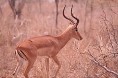 animal, antelope, springbok, mammal, hartebeest, fauna, impala, savanna, safari, gazelle, wildlife,
