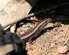 "<a href=""http://www.flickr.com/photos/nuytsia_pix/2955820564/"">Photo of Niveoscincus metallicus by Nuytsia@Tas</a>"