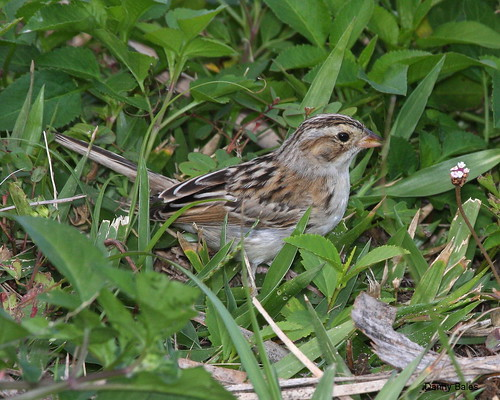 CLAY-COLORED SPARROW 7685