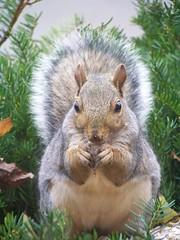 rodent(0.0), degu(0.0), animal(1.0), squirrel(1.0), fox squirrel(1.0), mammal(1.0), fauna(1.0), chipmunk(1.0), whiskers(1.0), wildlife(1.0),