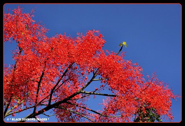 Brachychiton acerifolius - Illawarra Flame Tree