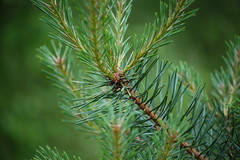 larch, conifer, branch, pine, leaf, macro photography, flora, close-up, temperate coniferous forest, fir, spruce, twig,
