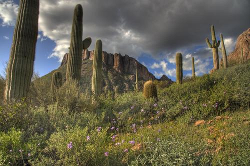 cactus usa flower clouds spring az saguaro hdr springflowers gilariverbasin