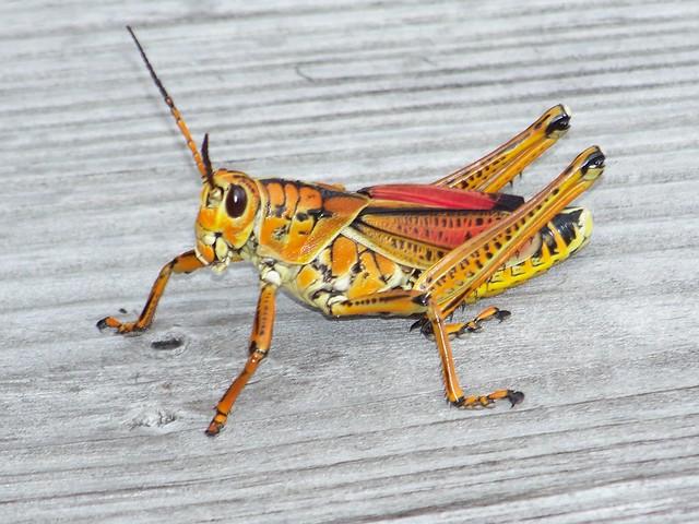 Southern Lubber Grasshopper Romalea Guttata Flickr