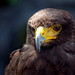 Small photo of Falco