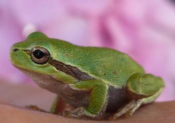 Frog Sardinium
