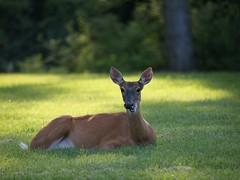 deer@jefferson barracks