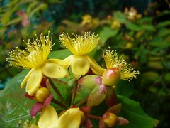 shrub, flower, yellow, plant, macro photography, wildflower, flora, produce, hypericum,