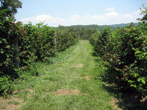 travel canon virginia berry blackberry farm orchard va raspberry shenandoah shenandoahvalley canonsd450 sd450 raphine raspber orchardside