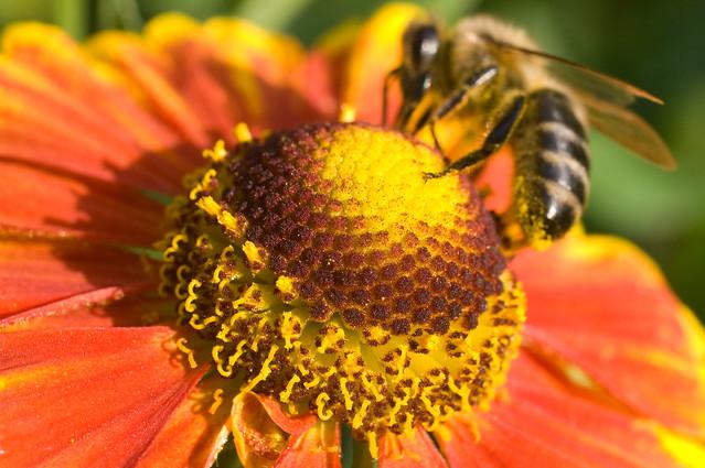 Helenium and Bee. Гелениум и пчела