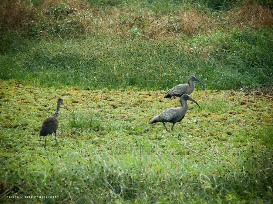 Bandurria Mora / Plumbeous Ibis