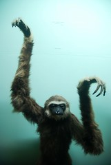 White handed gibbon (adult female), Horniman Museum