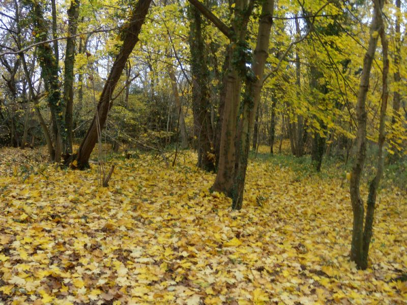 yellow leaves Guildford Circular via Chantries Hill