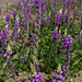 Arizona Lupine - Photo (c) Michael Huey, some rights reserved (CC BY-NC)