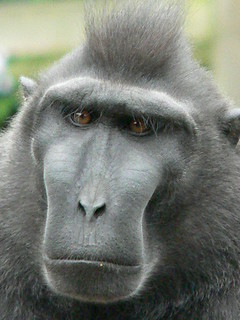 black macaque not amused