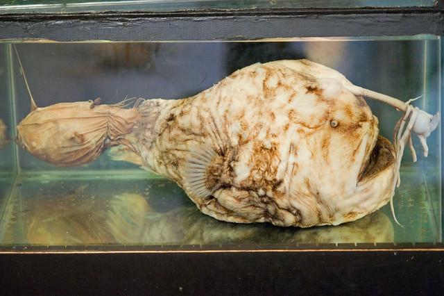 Himantolophus sagamius (Football Fish) | From a sign at ...