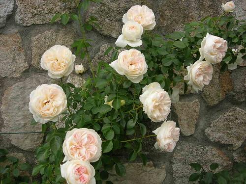 Rosa bianca profumata rifiorente con fiori grandi e - Ma maison et mon jardin ...
