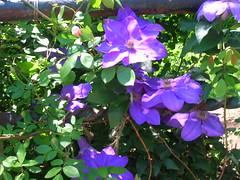 ipomoea violacea(0.0), ipomoea alba(0.0), clematis(1.0), annual plant(1.0), flower(1.0), plant(1.0), flora(1.0),