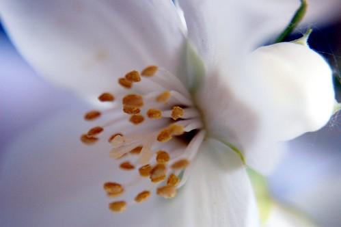 Jasmine Flower 1