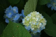 flower(1.0), hydrangea serrata(1.0), plant(1.0), hydrangeaceae(1.0), petal(1.0),