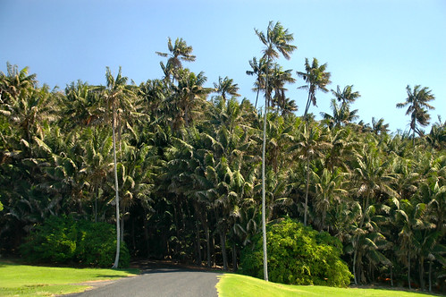 Endemic Howea forsteriana Palms- Neds Beach,Lord Howe Island