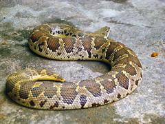 hognose snake(0.0), grass snake(0.0), garter snake(0.0), rattlesnake(0.0), sidewinder(0.0), kingsnake(0.0), animal(1.0), serpent(1.0), eastern diamondback rattlesnake(1.0), snake(1.0), boa constrictor(1.0), reptile(1.0), fauna(1.0), viper(1.0), scaled reptile(1.0),