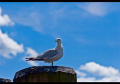 sea gull - Voxefx