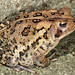 Fowler's Toad - Photo (c) Patrick Coin, some rights reserved (CC BY-NC-SA)