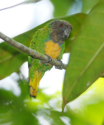 Дятловый попугайчик Шлегеля (Micropsitta geelvinkiana), фото попугаи птицы фотография