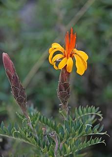 Mutisia acuminata (Asteraceae)