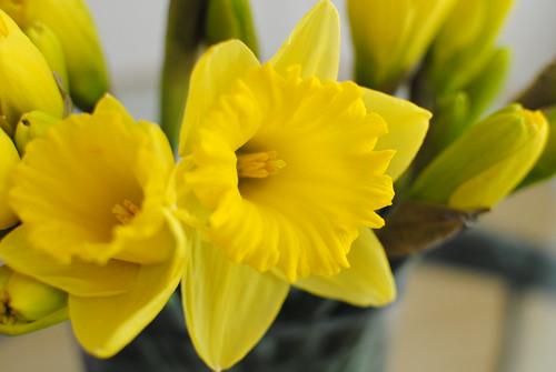 Daffodils 2014 (3)
