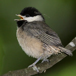 Fledgling Carolina Chickadee