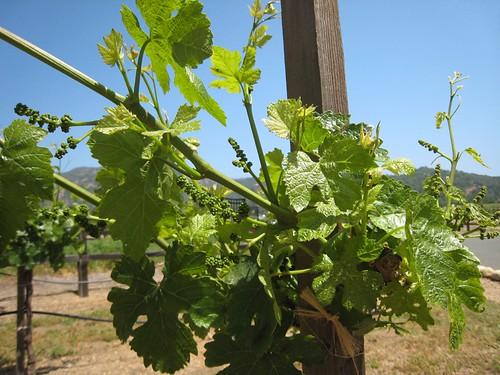 napa, calistoga, grape, vines IMG_2672