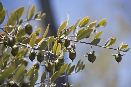 ramo della pianta di jojoba