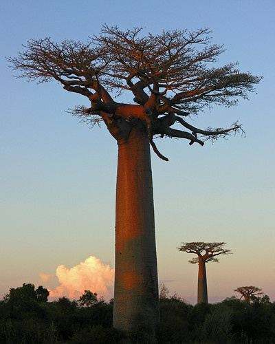 baobab at sunset ligth