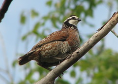 Northern Bobwhite - Photo (c) Mike Powers, some rights reserved (CC BY-NC-SA)