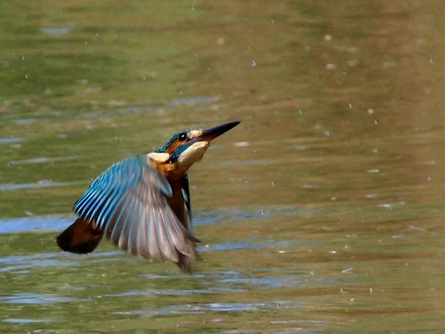 Guarda-rios/ European Kingfisher ( Alcedo atthis)