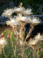 Flowers at North Point Park - Giant dandelion (??) cluster