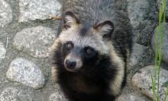 animal, raccoon, mammal, fauna, viverridae, procyon,