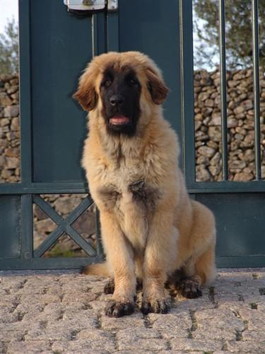 Estrela Mountain Dog, Estrela da Quinta da Liria