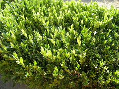 evergreen, shrub, tree, plant, arctostaphylos uva-ursi, groundcover,
